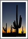 Saguaro after Sunset